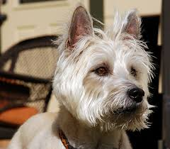 cairn hair cuts cairn terrier dog breed the paw blog