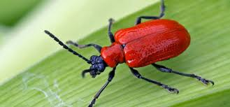 red lily beetle pest identification for vegetable gardens
