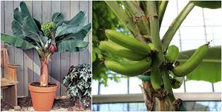 banana plant indoor with a dwarf banana tree the plant guide
