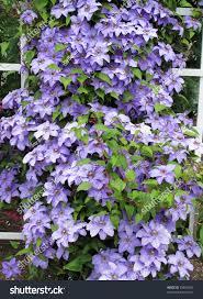 lavender clematis vine on white trellis stock photo 53854954