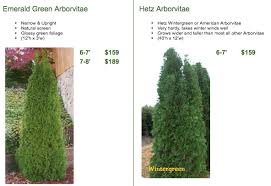 arborvitae trees facts care arbor tree farm nursery