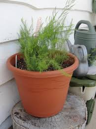 Flower Boxes That Thrive In by Growing Asparagus In A Container Little Baby Homegrown Stalks
