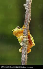 tree frog looking at a royalty free stock photo from