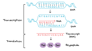 Dna Structure Worksheet Stages Of Transcription Article Khan Academy
