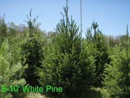 white pine trees eastern white pinetree information