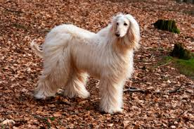 afghan hound arizona afghan hound pictures photos and images of the afghan hound