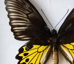 volcanic black and yellow butterfly on a white background stock