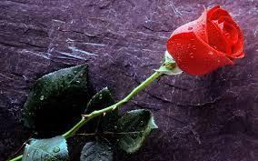 love rose flower images wallpaper simplepict com