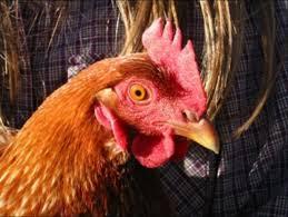 Anti Joke Chicken Meme - anti joke chicken know your meme