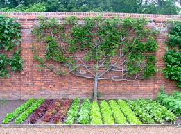 espalier fruit tree in the kitchen garden guidofrilli fig tree