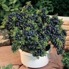 Shrubs For Patio Pots Best Fruits To Grow In Pots Fruits For Containers Balcony