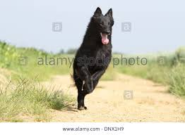 belgian sheepdog breeds dog belgian shepherd groenendael running in a path stock