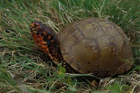 box turtles and missouri department of conservation