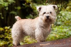 bedlington terrier guide glen of imaal terrier wikipedia