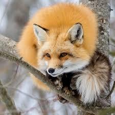 sleeping red fox wallpapers best 25 fox ideas on pinterest simple animal drawings foxes