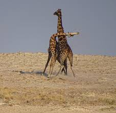 file giraffe necking etosha jpg wikimedia commons