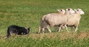 belgian shepherd herding herding dogs cesar u0027s way