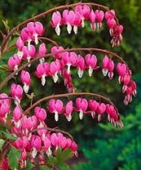 Flower Love Pics - hearts for you bleeding hearts flowers and rare flowers