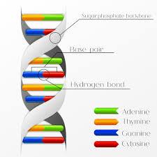 molecular clocks are refining human evolution u0027s timeline
