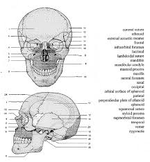 parts of skull printables google search interesting things