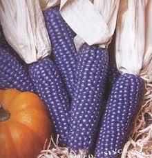 how to grow ornamental indian corn decorative blue mini corn