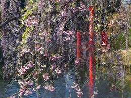 Botanical Gardens In Brooklyn by Cherry Blossoms Hang Down In The Japanese Hill And Pond Garden