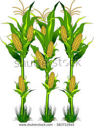 corn stalk stock images royalty free images u0026 vectors shutterstock