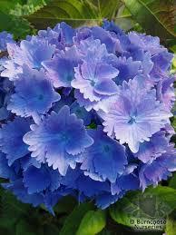 Purple Hydrangea Hydrangea From Burncoose Nurseries Page 1