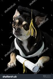 dog graduation cap and gown chihuahua cap gown graduation on stock photo 104264579