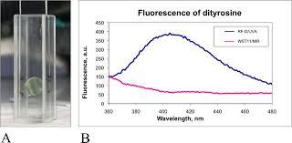stiffening of rabbit corneas by the bacteriochlorophyll derivative