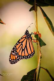 1180 best monarch butterflies images on pinterest butterflies