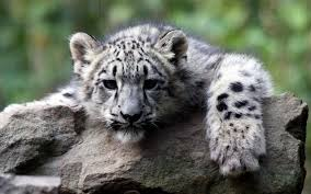 white tiger blue eyes samsung note5 hd wallpaper download hd