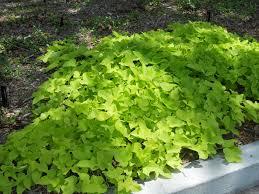 sweet potatoe vine groundcover