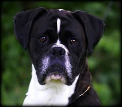 boxer dog reverse brindle havenwoods boxers top quality akc german and american boxers