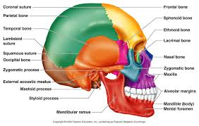 Anatomy And Physiology Ear Classification Of Bones