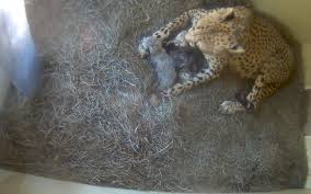 national zoo says litter of cheetah cubs born wtop