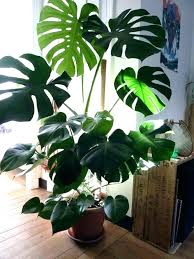 best indoor plants for low light indoor house tree best of trees for indoors low light and terrific