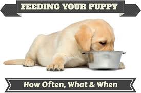feeding your labrador puppy what how much how often