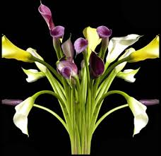 calla colors fresh cut medium stem mini calla lilies