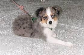australian shepherd puppies rescue toy aussies