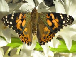 these are the butterflies that can be shipped into maryland wish