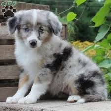 australian shepherd gray miniature australian shepherd puppies for sale greenfield puppies