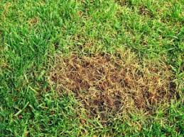 concimazione tappeto erboso rigenerare il prato riseminare e rinfoltire a settembre ed