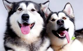 husky wallpapers hd android apps on google play