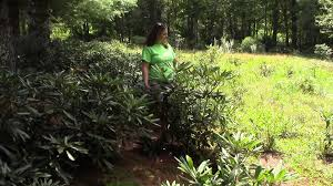 native plants nursery melbourne carolina native nursery 3 4 u0027 rhododendron maximum youtube