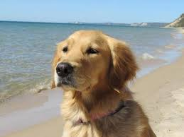 Comfort Golden Retriever Breeders A Comfort Dog Named Ruthie Is Aspca U0027s Dog Of The Year U2013 Animal