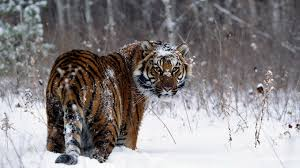 541 tiger hd wallpapers backgrounds wallpaper abyss