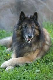 belgian sheepdog breeders michigan chiots tervueren mauléon d u0027armagnac pointyears visit