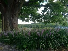 liriope shade tolerant deer resistant ground cover deer