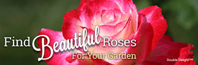 yellow roses with tips growing care how to articles care for roses in the